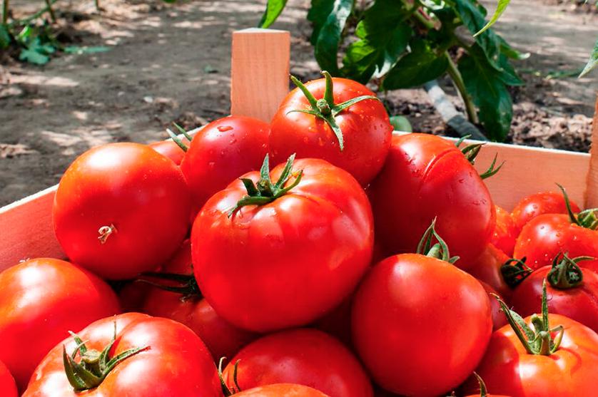 Somos o 4º maior exportador mundial de Tomate. E se perdermos 82% da nossa produção?