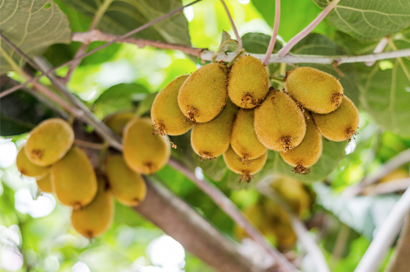 Produção de kiwi em Portugal já ocupa 2800 hectares